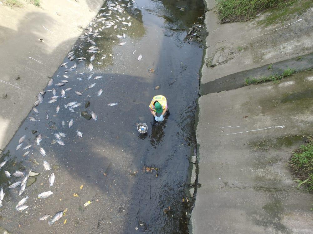 caso de peces muertes en parte baja d ela cuenca 144 del río abajo 15